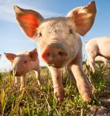 Pigs walking on grass