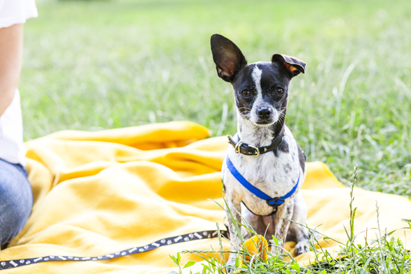 Black and white chihuahua sitting on yellow blanket