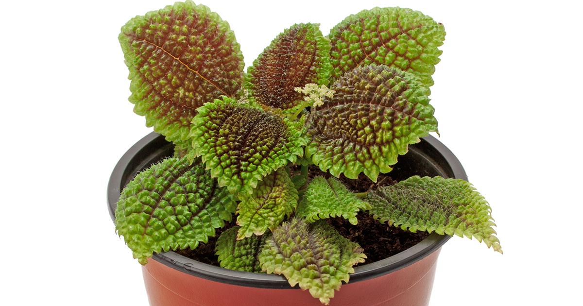 friendship plant aspca