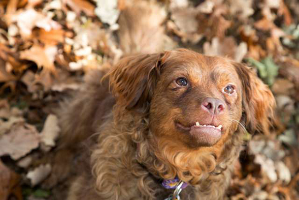 Brown spaniel sitting in the leaves