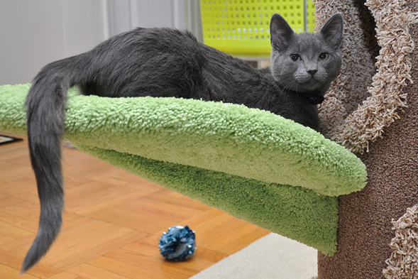 Grey cat laying on cat tree