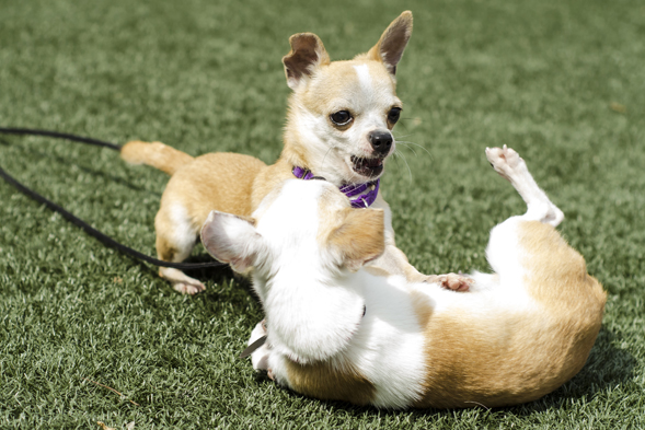 Two chihuahuas playing