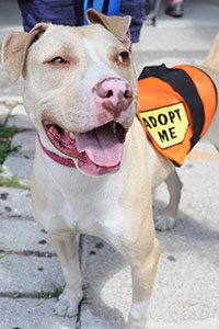 Tan and white pit bull wears adopt me vest