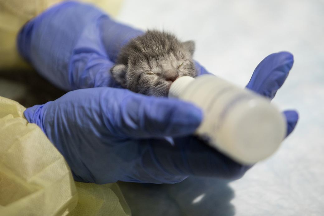 bottle-feeding a kitten