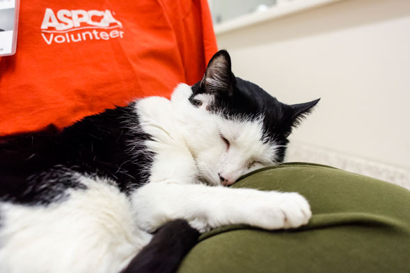 Hal resting on an ASPCA volunteer