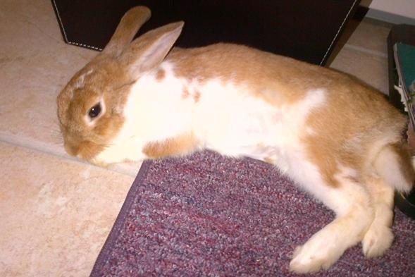 baby rabbit napping