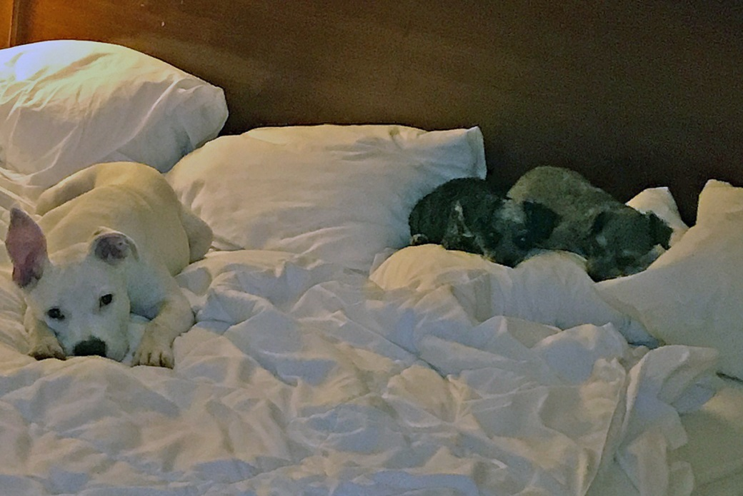 polo, misty, and brandy sleeping on a bed