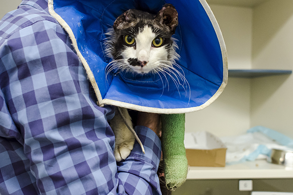 Injured cat with bandages at ASPCA Animal Hospital