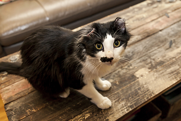Black and white earless cat