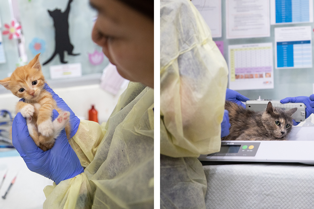 Azalea and one of her kittens being examined at the ASPCA