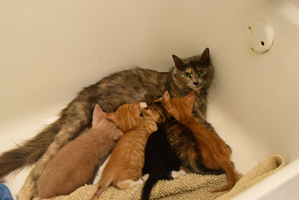 Azalea nursing her kittens in the bathtub