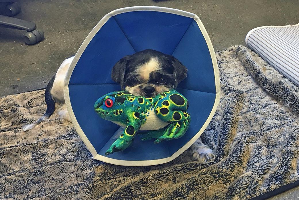 Chaplin after surgery
