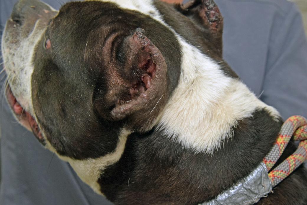 Fajita's infected ears