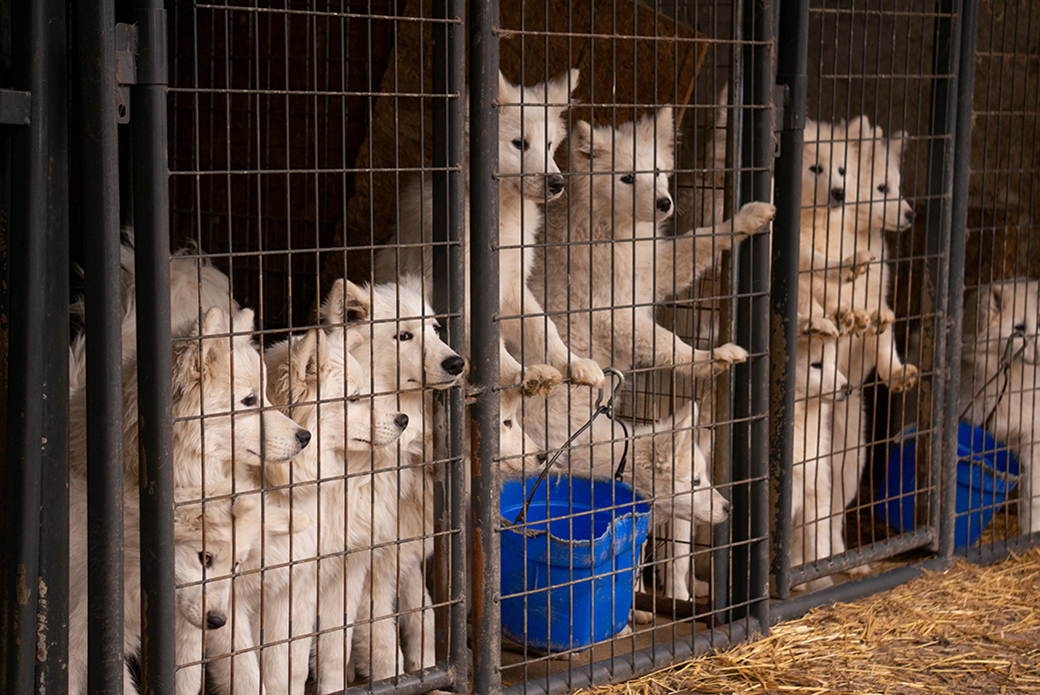 Samoyeds in a kennel at a puppy mill
