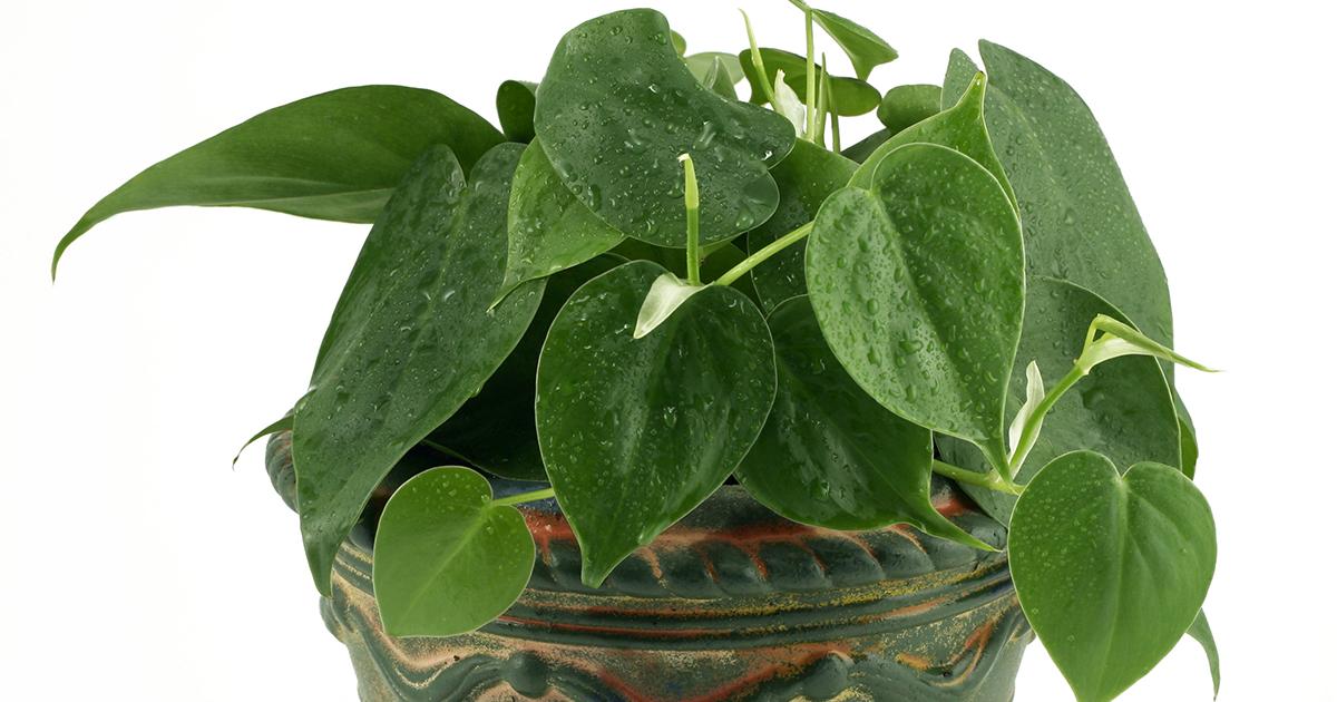 Heartleaf Philodendron | ASPCA