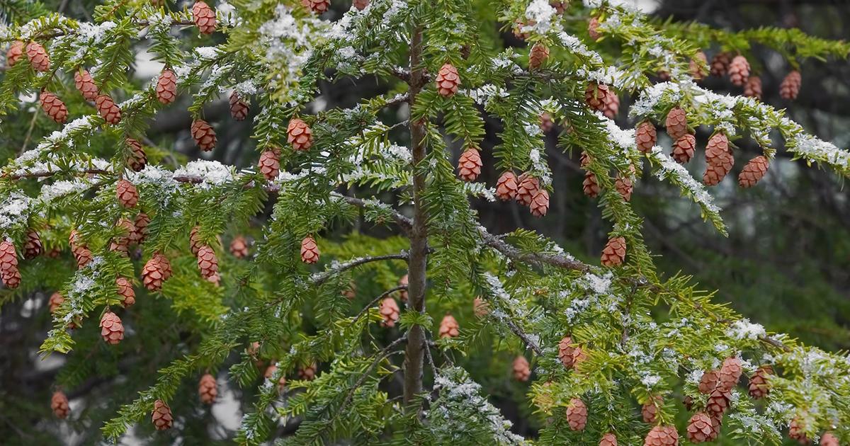 hemlock tree aspca