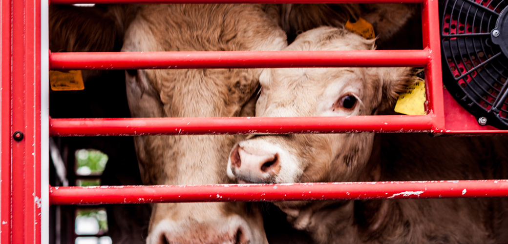 Cows in cage