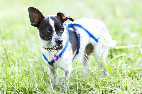 Black and white chihuahua walking on grass