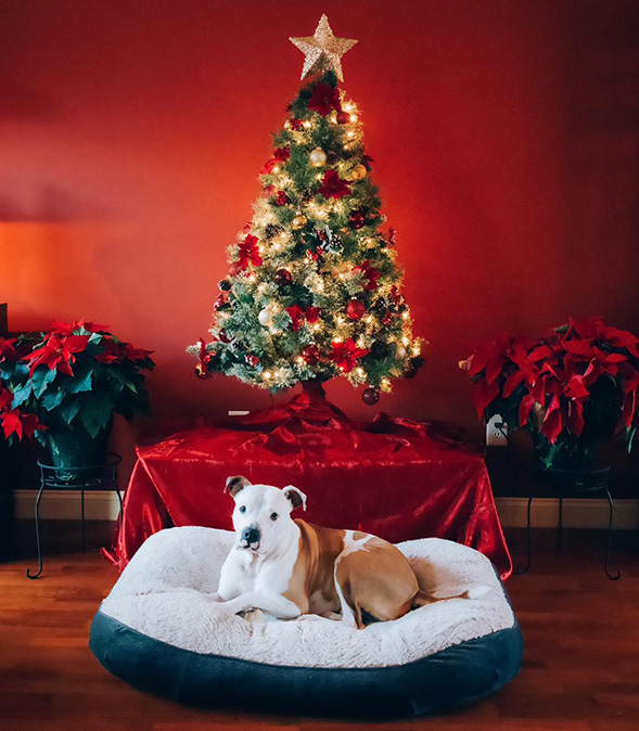 Tan and white pit bull in front of Christmas tree