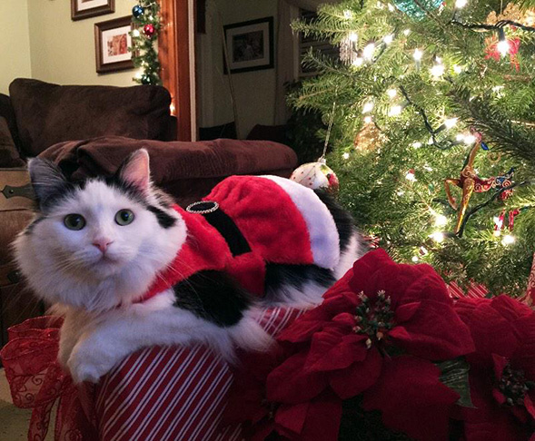 Black and white cat by the Christmas tree