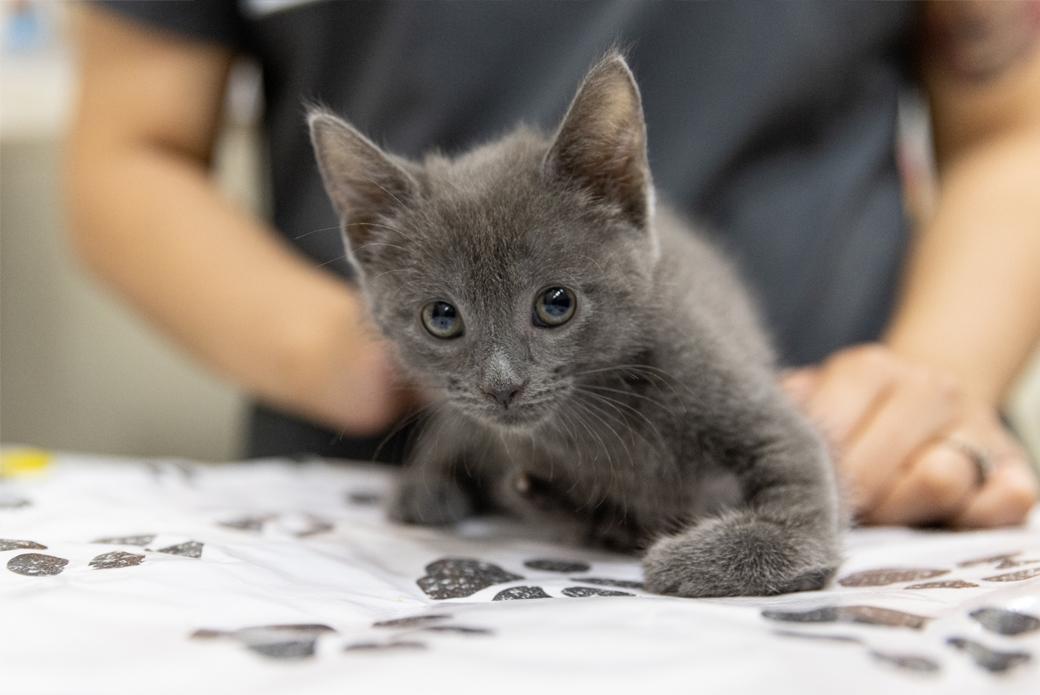 Grey kitten crawling
