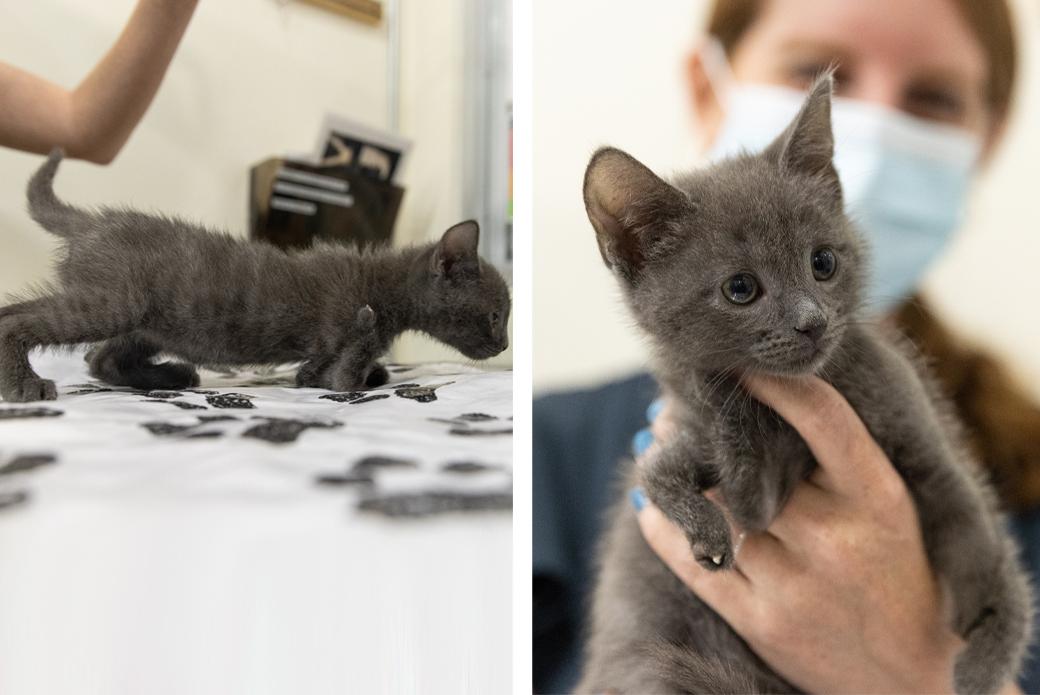 Grey kitten in the nursery