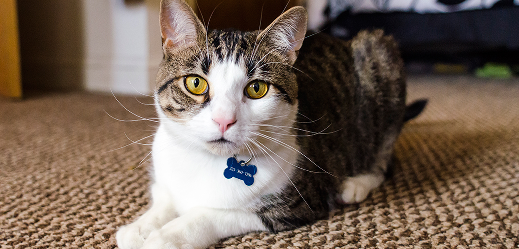 a white and brown tabby cat