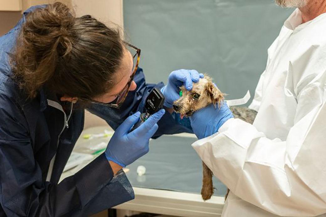 Li'l Sebastian recieving medical attention