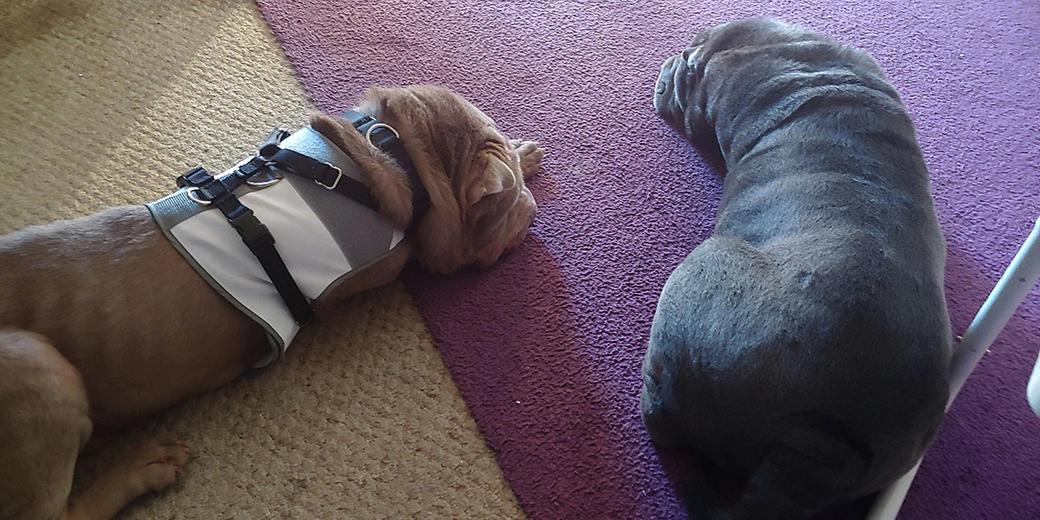 Fiesta with her helper dog