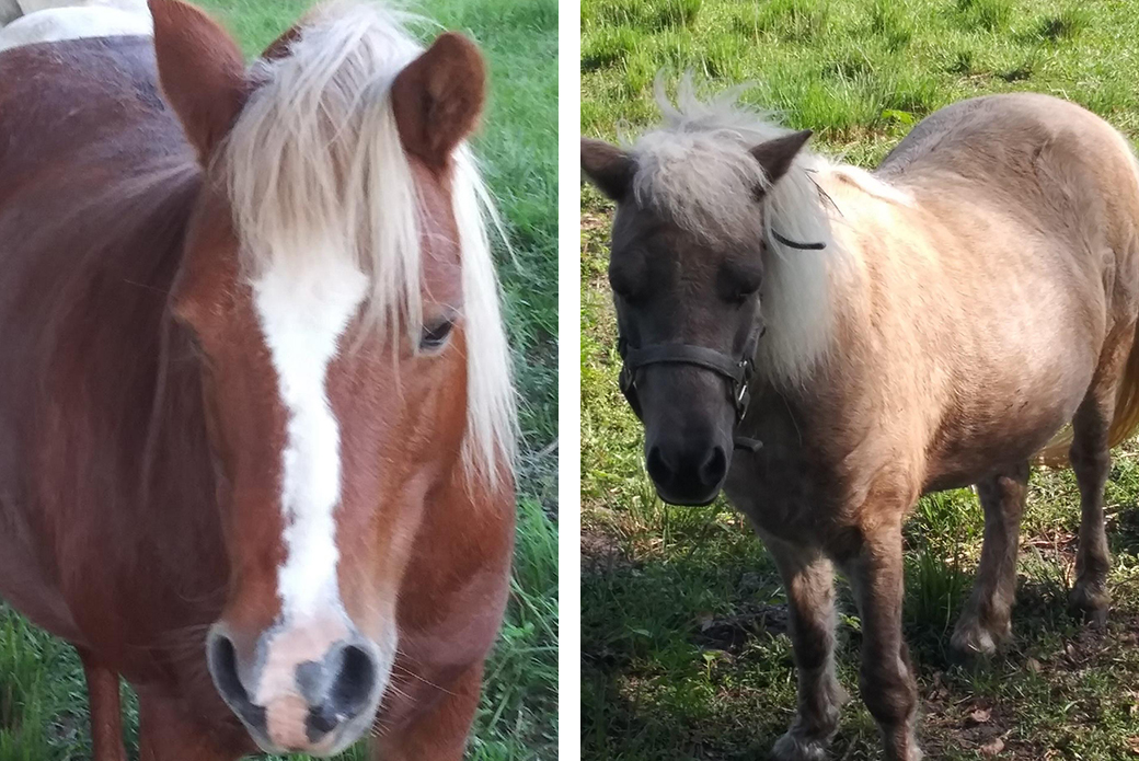 the two rescued mini horses