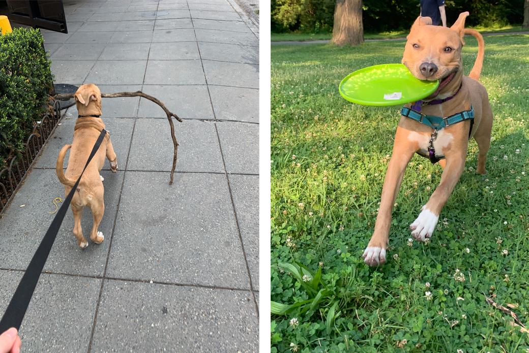 Dog on leash, dog playing frisbee