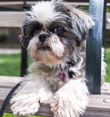 Shih tzu on park bench