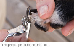 A dog's paw and nail being trimmed properly