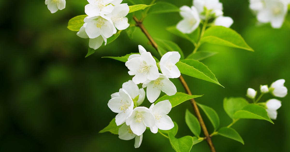 jasmine aspca