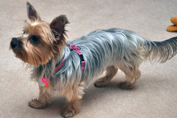 Yorkie wearing pink harness