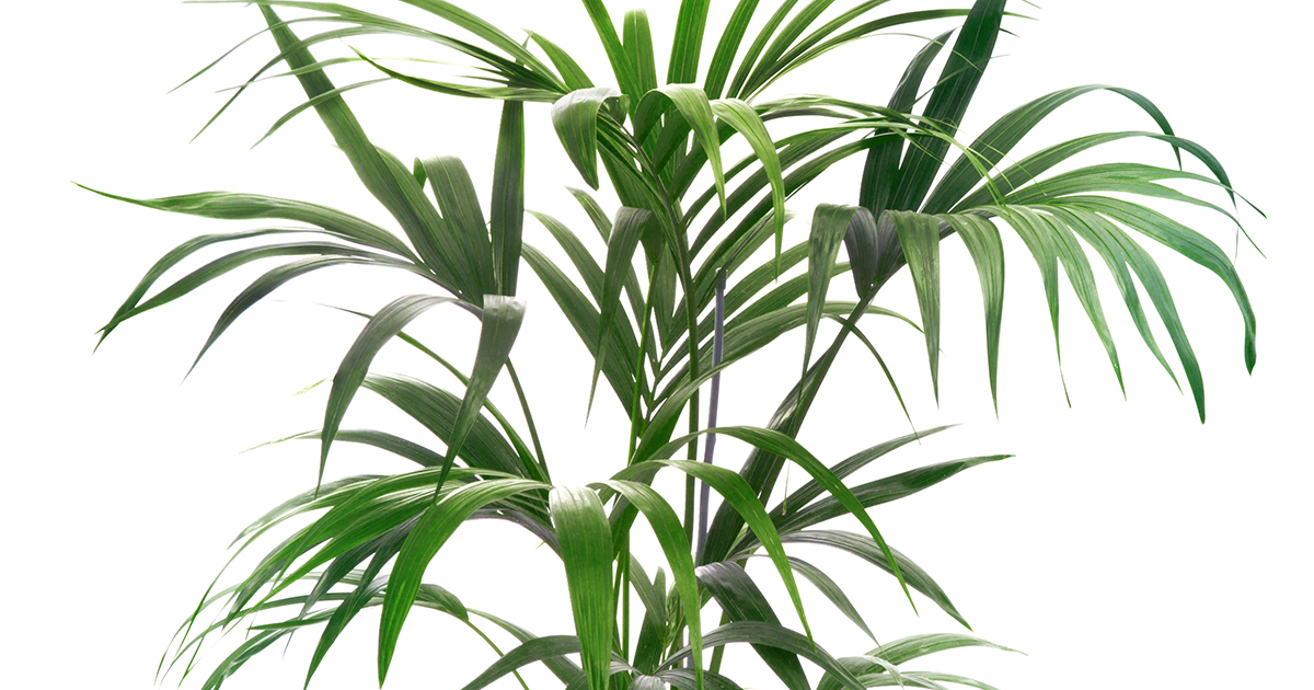Kentia palm aspca for Kentia pianta