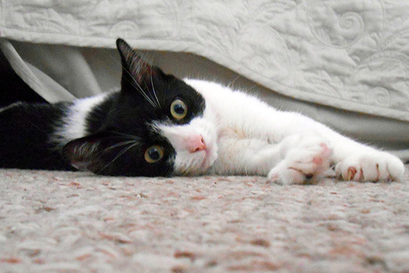Black and white kitten relaxing on rug