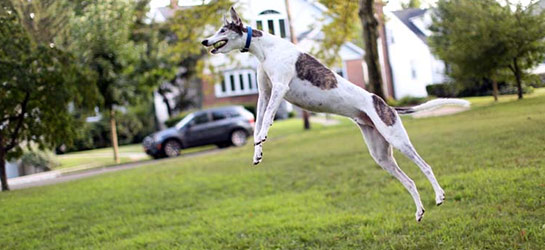 Greyhound jumping