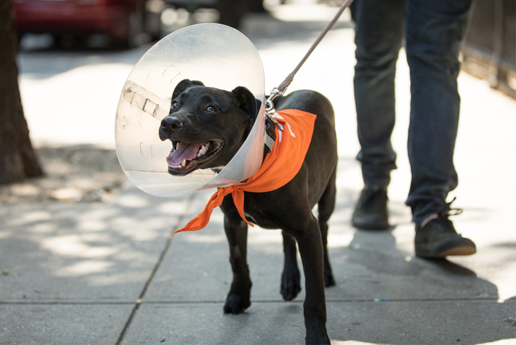 Black dog with medical cone on neck