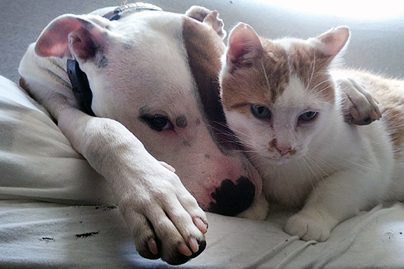 Pit bull napping with cat