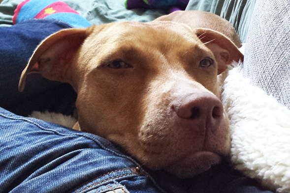Lucy in Love: Former Fighting Dog Thriving in New Home