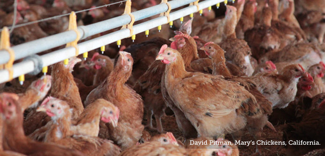 chickens in a crowded factory farm