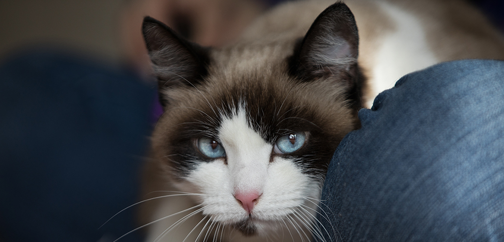 a cat with blue eyes