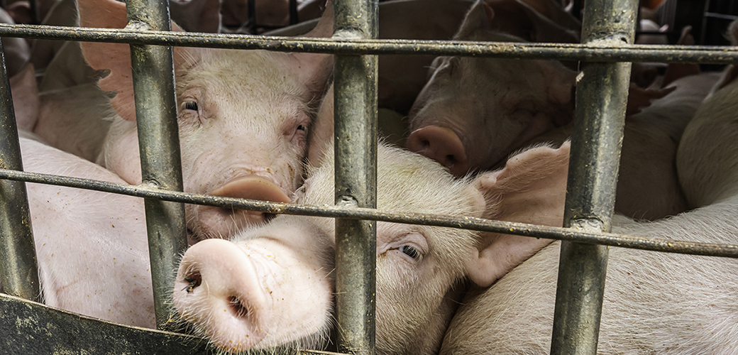 pigs in a cramped dirty pen
