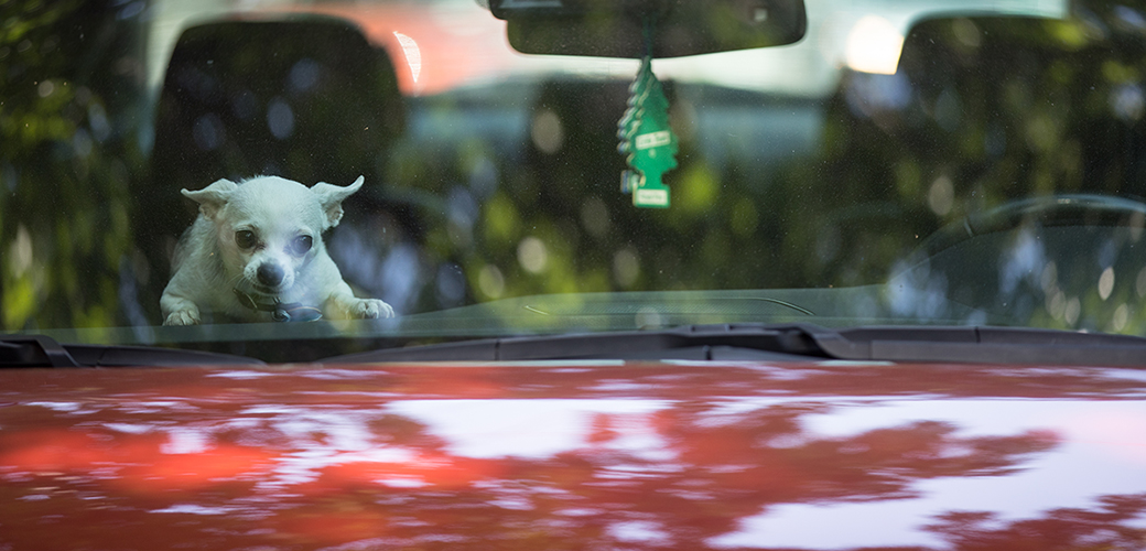 a white chihuahua in a car