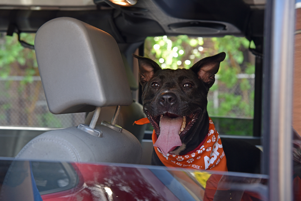 Koko in a vehicle