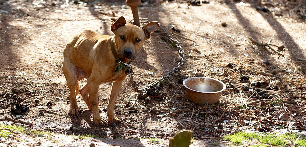 a pitbull chained to the ground
