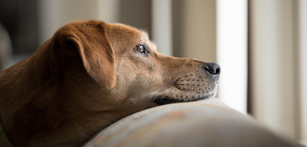 sad dog on a couch