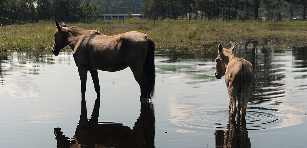 a wild horse and burro in water