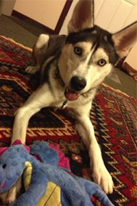 Siberian Husky playing with toy